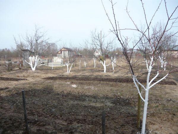 Побелка деревьев как белить чем
