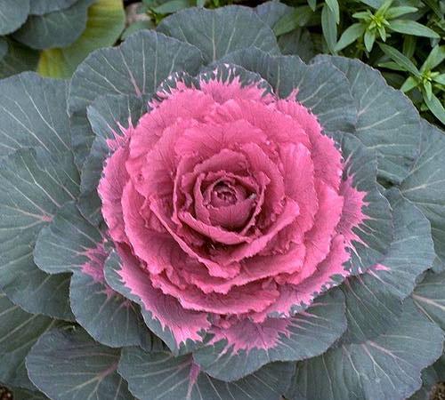 как называется цветок как капуста