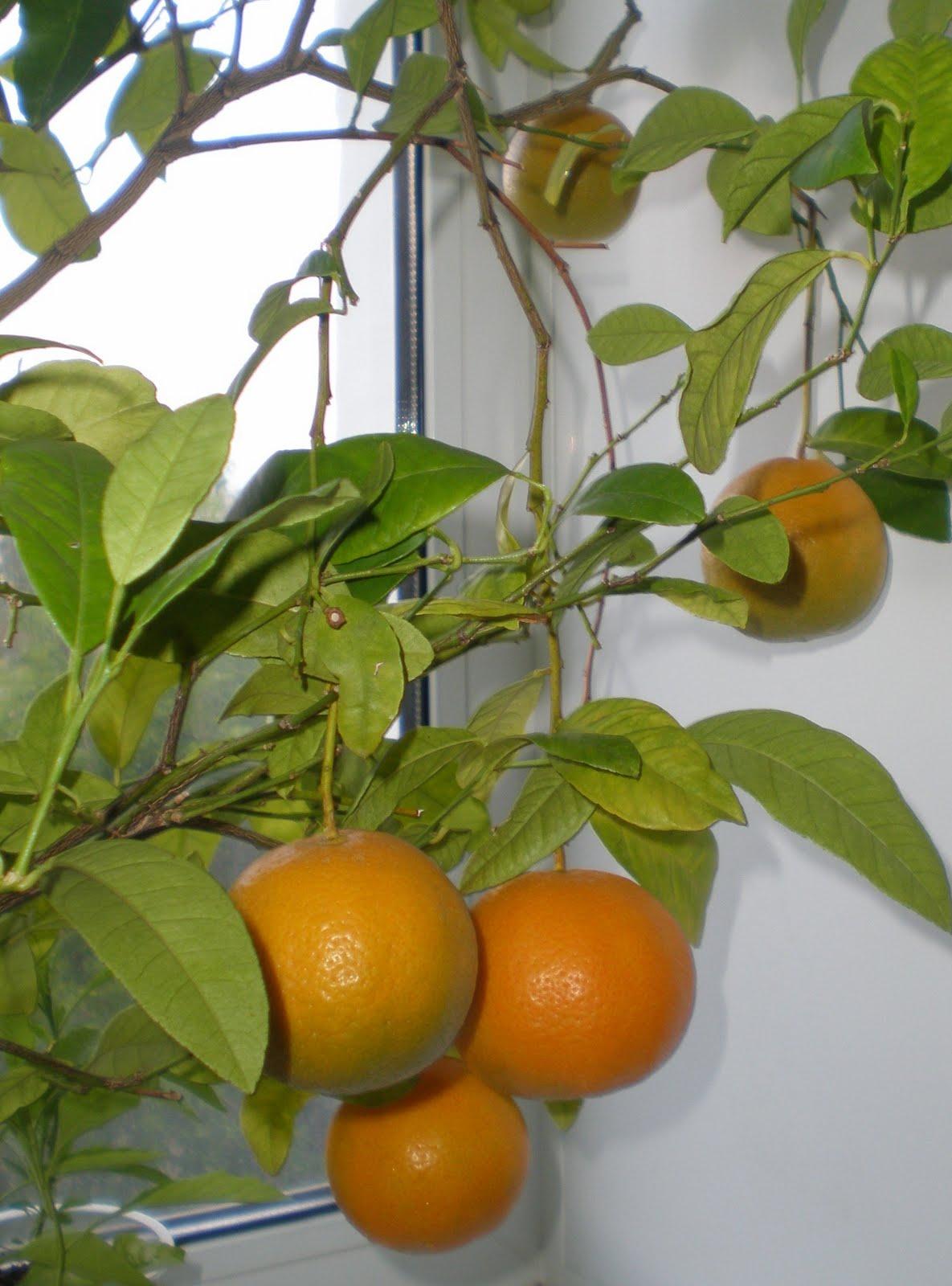 Апельсин вырастить в домашних условиях
