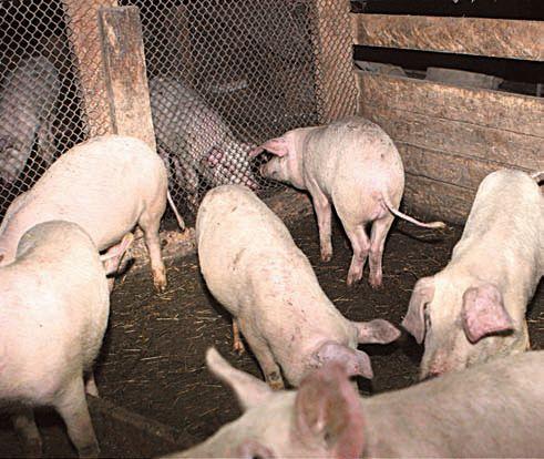 Свиньи помогают более рационально использовать место в сарае