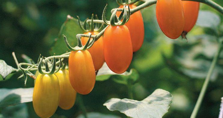 Маленькие помидоры F1 Черри Лиза