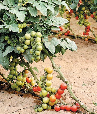 Маленькие помидоры F1 Черри Максик