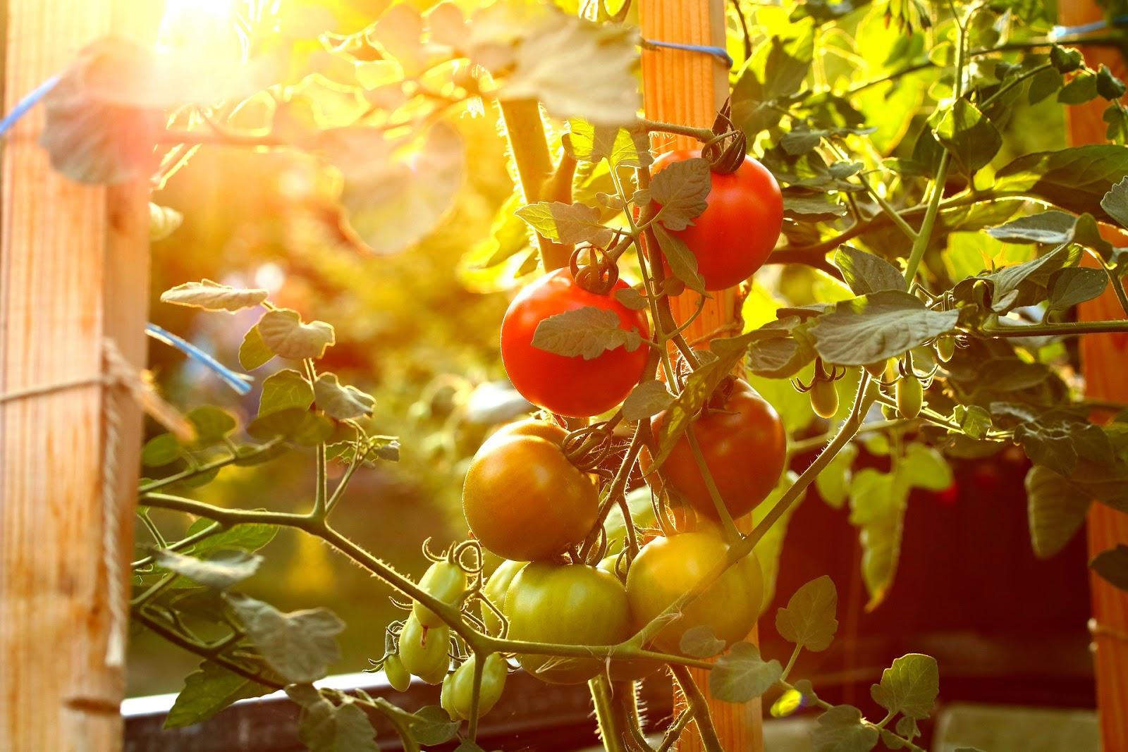 6 ошибок подвязки огородных культур