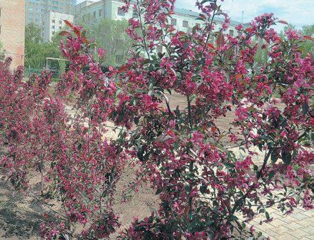 Декоративные яблони на подвое Урал 5