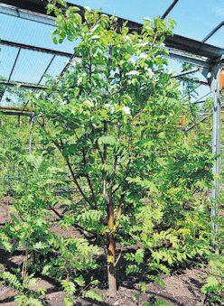 Растение, сочетающее рябину обыкновенную и сорт груши 'Лель'