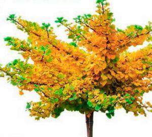 """Результат многолетней работы: глициния (Wisteria), сформирована в виде штамбового деревца. Важно: ей необходима надежная опора  Этот шарик остается зеленым и зимой: кипарисовик Лавсона k (Chamaecyparis lawsoniana) сохранит отличную форму, если регулярно обрезать выбивающиеся из кроны побеги.  Фотиния Фразера (Photinia^T fraseri) 'Red Robin' входит в моду. Однако выращивать ее можно только в южных регионах, поскольку она недостаточно зимо стойка для средней полосы.  Дуб болотный (Quercus palustris) Green Dwarf' растет медленно и отличается неприхотливостью. Осенью его листья огненной окраски — настоящее """"очей очарованье"""""""