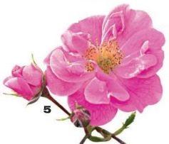 ne-kapriznye-rozy