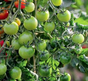 pomidory-na-podokonnike