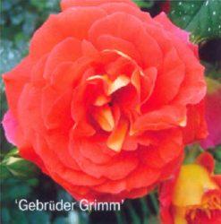 Gebruder Grimm